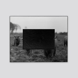 Scottish highland cattle on field, N Picture Frame