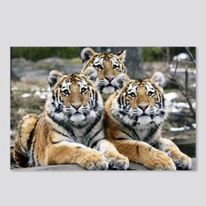 TIGERS Postcards (Package of 8)
