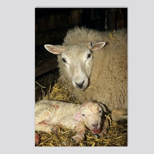 Ewe and new born lamb Postcards (Package of 8)