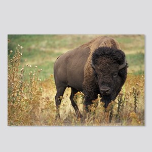 American buffalo Postcards (Package of 8)