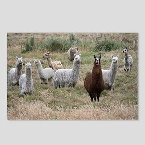 Cajas llamas Postcards (Package of 8)