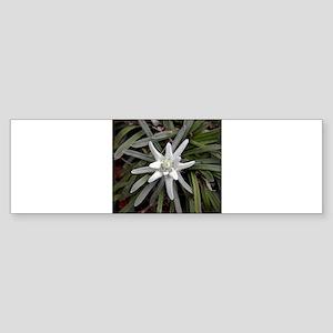White Alpine Edelweiss Flower Bumper Sticker