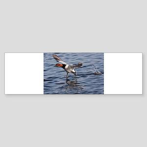 Canvas back taking flight Bumper Sticker