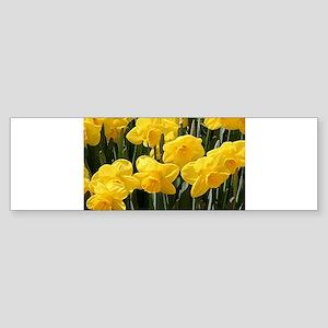 Daffodil flowers in bloom in garden Bumper Sticker