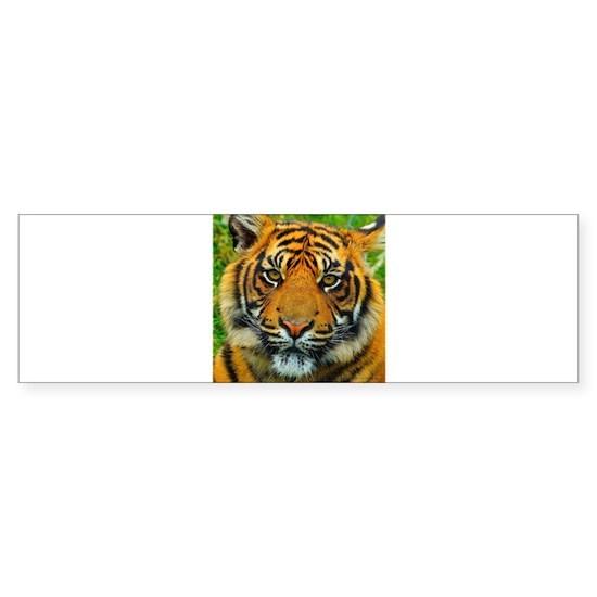 The Last Tiger?
