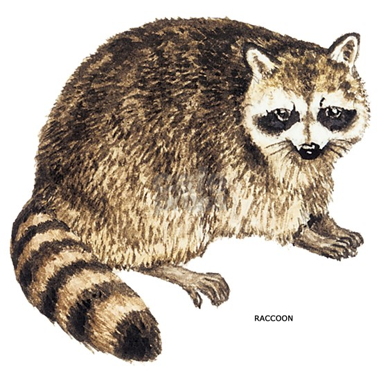 Raccoon027