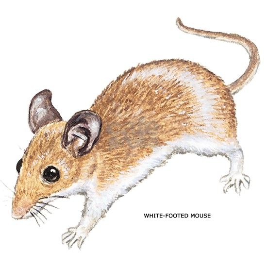 WhiteFootedMouse028