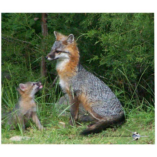 MOTHER RED FOX AND BABY