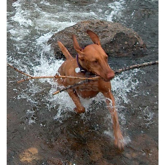 vizsla fetching in water