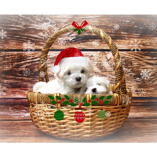 Happy Holidays, Maltese Puppies