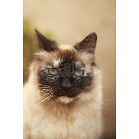 Colorpoint cat up close Siamese tortie point Sarah