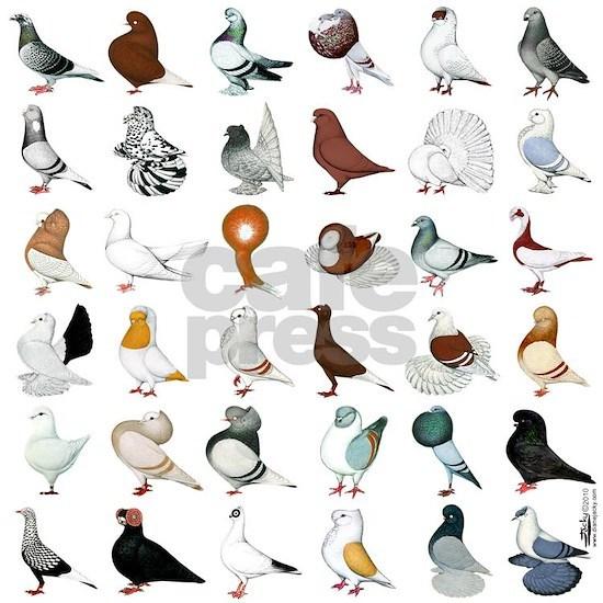 36 Pigeon Breeds