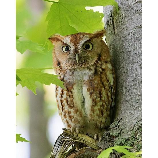 Red Sreech Owl