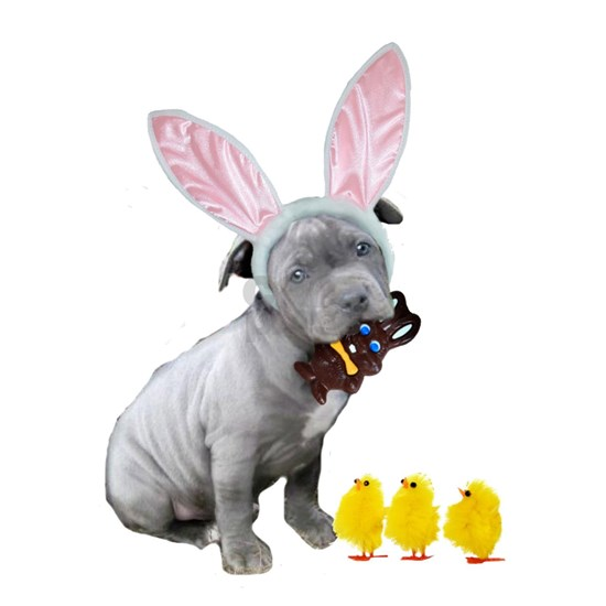 Easter Pitbull Puppy