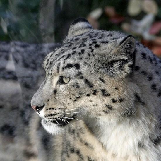 Leopard002