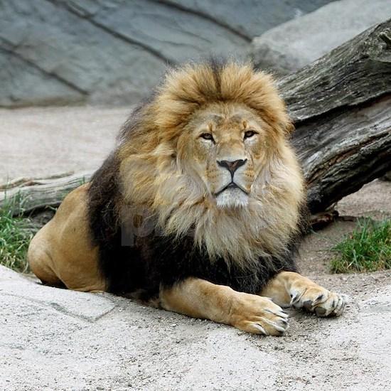 Lion_2014_1001