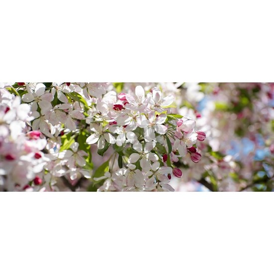 Spring Apple Tree Blossoms