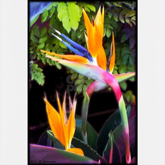 Bird of Paradise Flowers