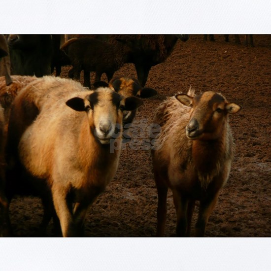 a couple of sheep in a herd
