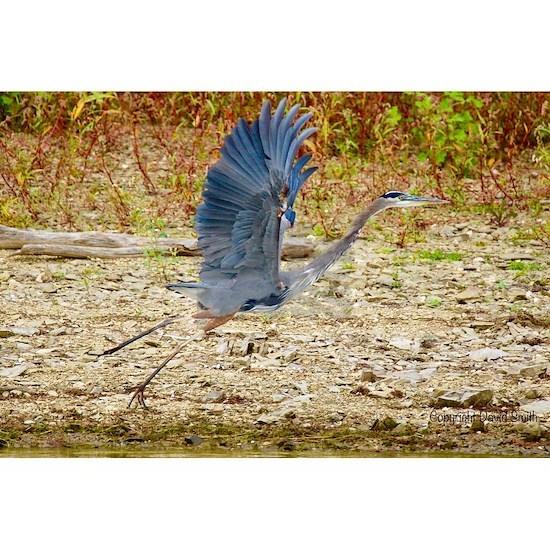 Blue Heron Takeoff
