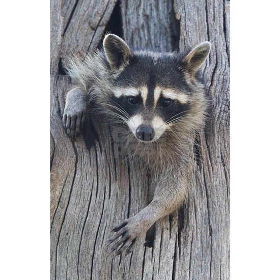 Raccoon in a Tree