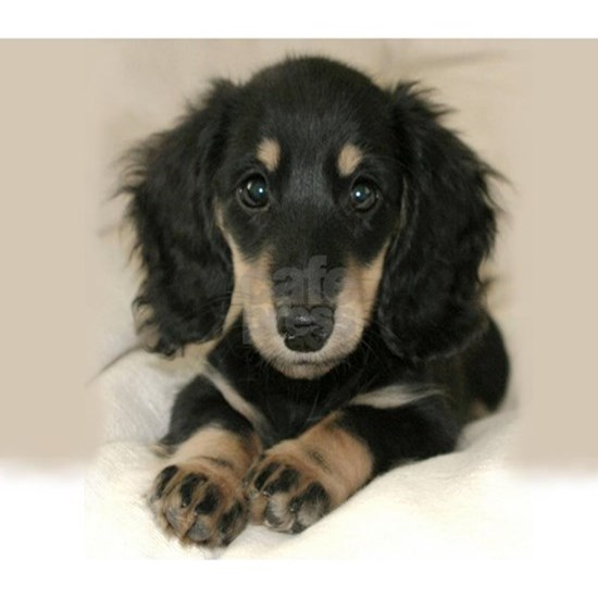 long hair black doxie 16x12