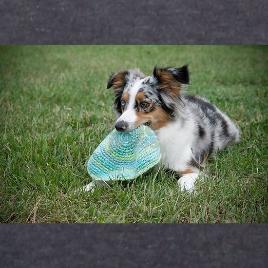 miniature australian shepherd with toy
