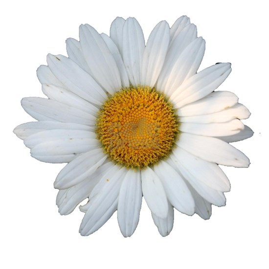 White Daisy Cutout