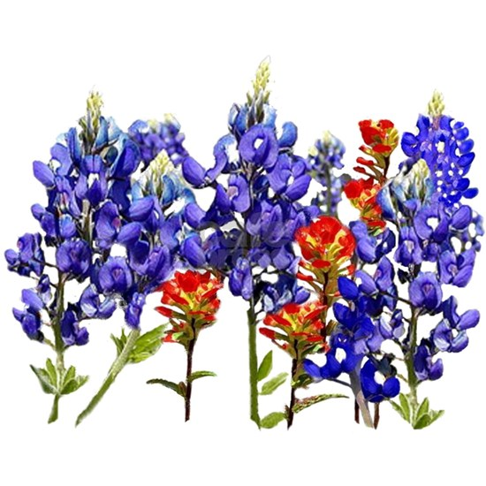 TEXAS  BLUEBONNETS AND PAINTBRUSH