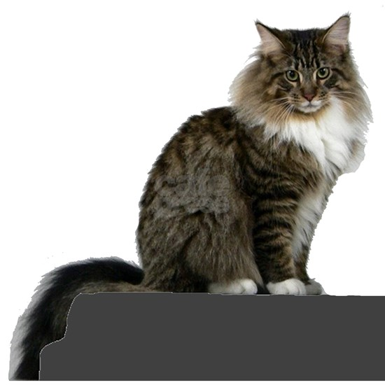 maine coon sitting tabby white