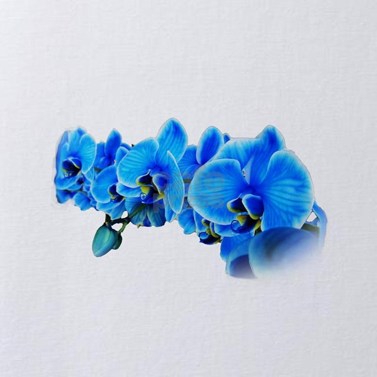 Ice blue orchids