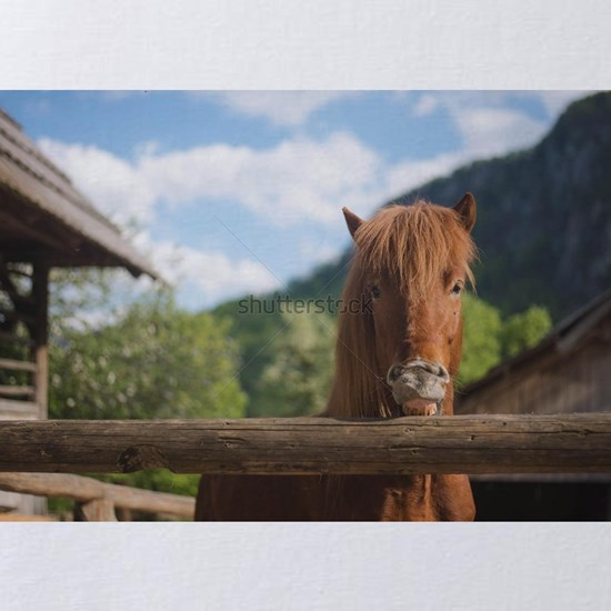 Chestnut iceland horse portrait on a horse ranch