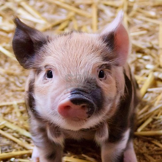 sweet little piglet 2