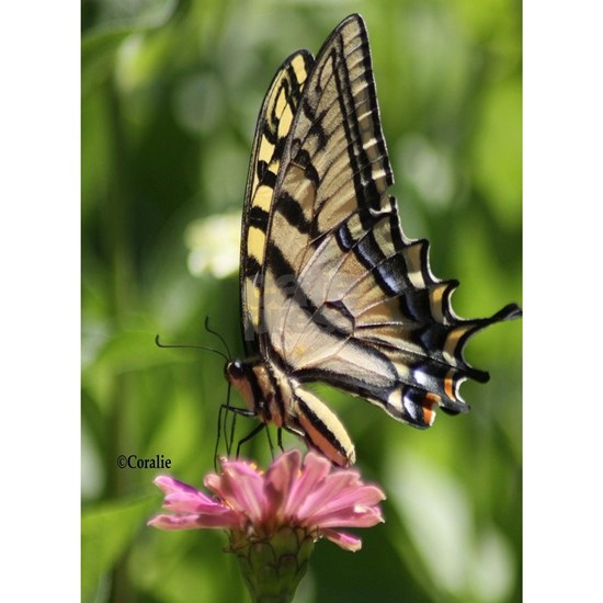 Colorful Yellow Swallowtail Butterfly