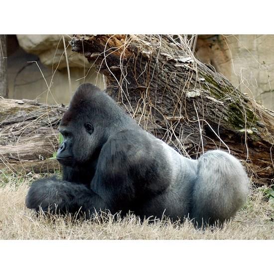 Gorilla 005