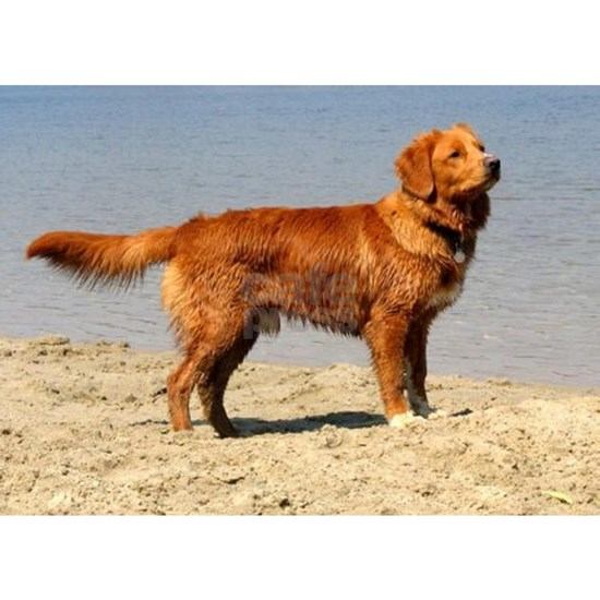 Nova Scotia Duck Tolling Retriever full