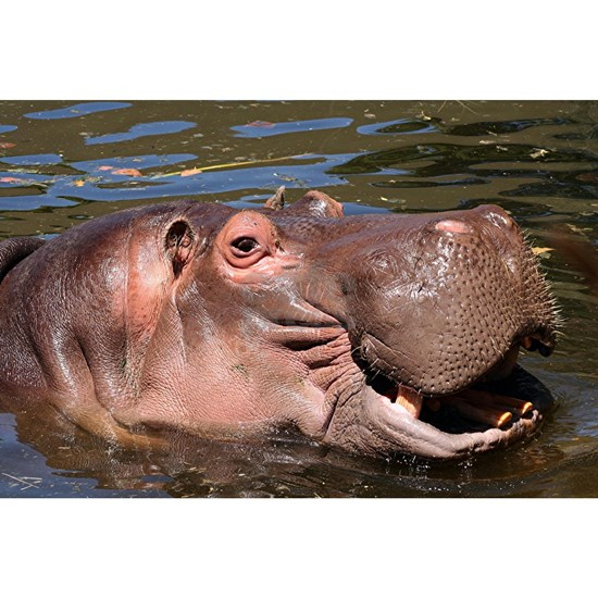 Happy African Hippo in water