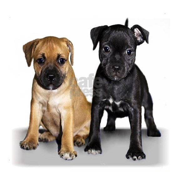 Staffordshire Terrier puppies