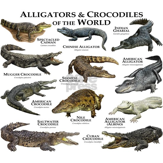 Alligator  Crocodiles