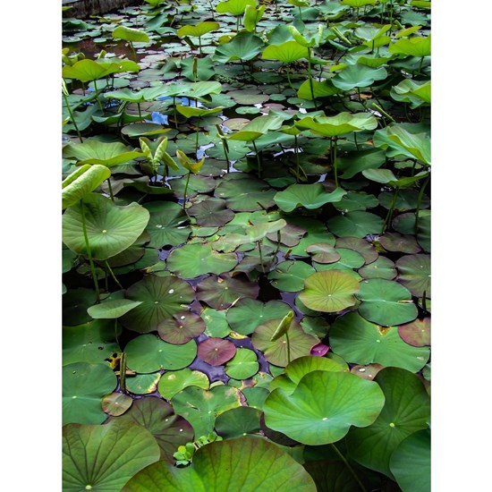 A pretty pond full of lily pads at a water temple