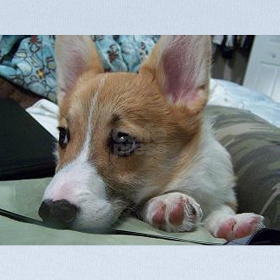 pembroke welsh corgi puppy second