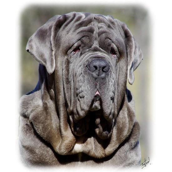 Neapolitan Mastiff AA021D-048