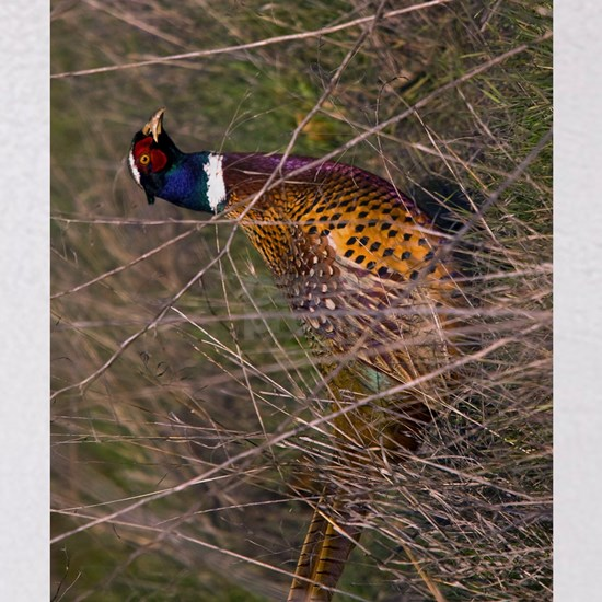 (12p) Pheasant  407