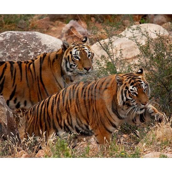 (4) Tigers Two Walking