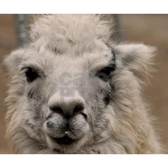 (12) Llama 8716