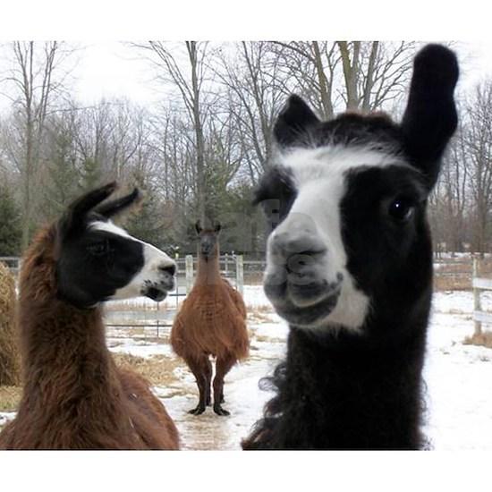 Llamas larger