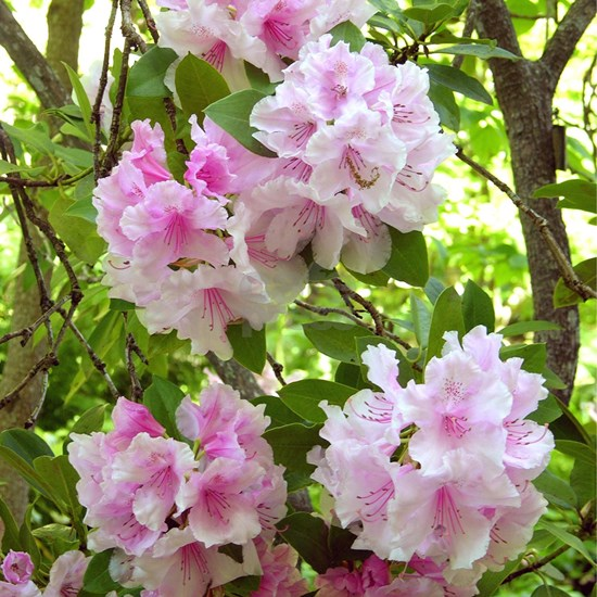 Pink rhododendron (Rhododendron sp.)