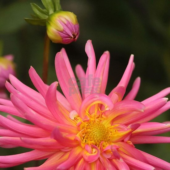 dahlia flower in the flower bed