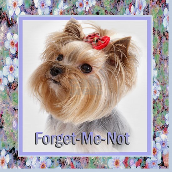 Forget-me-not Yorkie