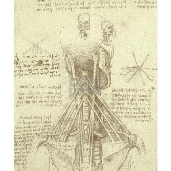 Spinal Column  by Leonardo da Vinci